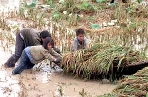 Nhiều ruộng lúa bị ngập úng. AFP