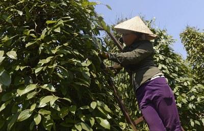Hình minh họa. Hình chụp hôm 12/3/2013: người nông dân thu hoạch hạt tiêu ở huyện Chư Pưh, Gia Lai.