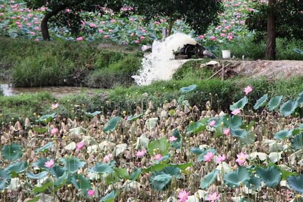 Nhiều đầm sen ở huyện Phong Điền, Thừa Thiên Huế chết do ô nhiễm lay lan trong lúc truyền nước tưới