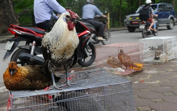 Hình minh họa. Gà và chim được bày bán dọc đường phố Hà Nội hôm 4/4/2013.
