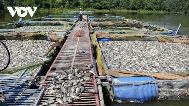 Gần 80 tấn nuôi lồng bè ở hồ Hồng Khếnh, tỉnh Điện Biên bị chết nổi trắng mặt nước ngày 21/10/2020.